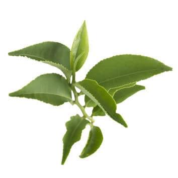 Matcha Green Tea (Camellia sinensis)